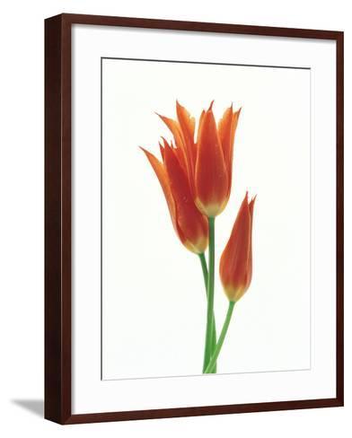 Orange Flowers Against White Background--Framed Art Print