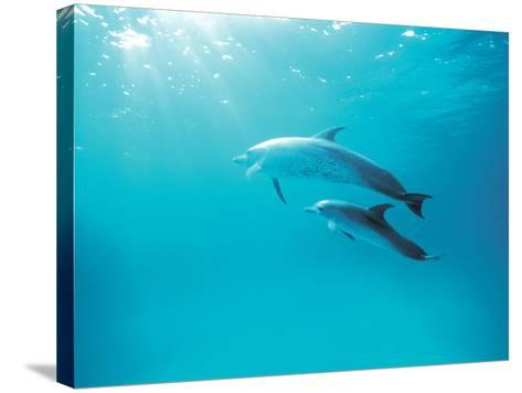 Two Spinner Dolphins--Stretched Canvas Print