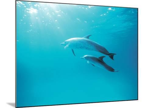 Two Spinner Dolphins--Mounted Photographic Print
