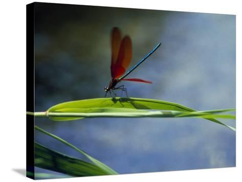 Dragonfly Perching on Grass--Stretched Canvas Print