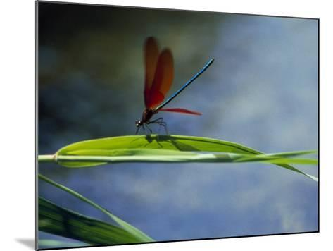 Dragonfly Perching on Grass--Mounted Photographic Print