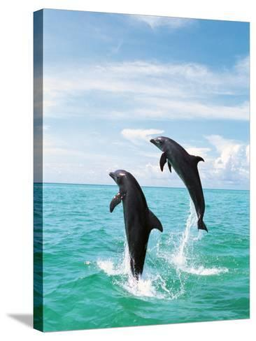 Bottlenose Dolphins Spinning in Water--Stretched Canvas Print