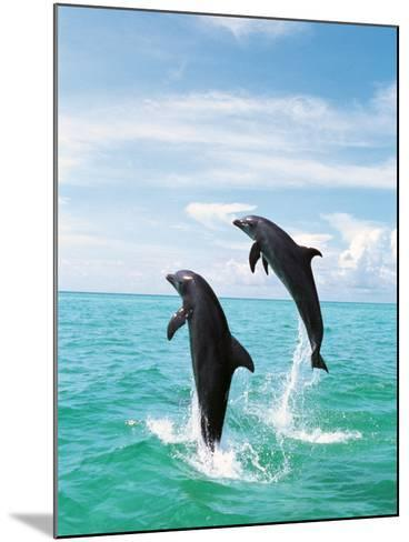 Bottlenose Dolphins Spinning in Water--Mounted Photographic Print