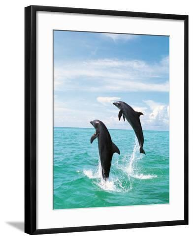 Bottlenose Dolphins Spinning in Water--Framed Art Print