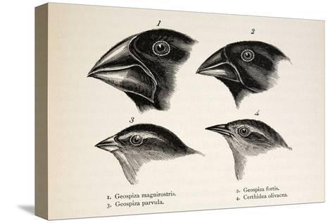 Darwin's Galapagos Finches-Stewart Stewart-Stretched Canvas Print