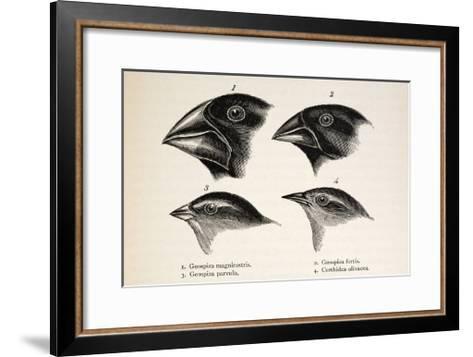 Darwin's Galapagos Finches-Stewart Stewart-Framed Art Print