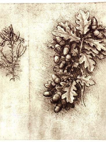 Leonardo Da Vinci's Oak Leaves And Acorns-Sheila Terry-Stretched Canvas Print