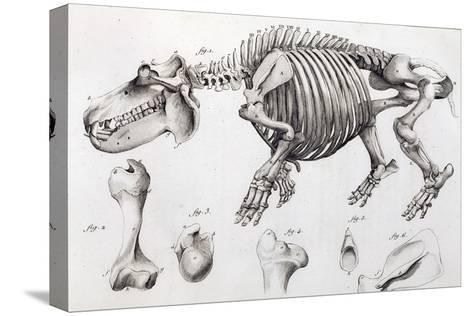 1812 Hippopotamus Skeleton by Cuvier-Stewart Stewart-Stretched Canvas Print