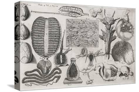 Biological Illustrations, 17th Century-Middle Temple Library-Stretched Canvas Print