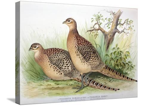 Phasianus Mongolicus and Phasianus Shawi, 1906-7-Henry Jones-Stretched Canvas Print