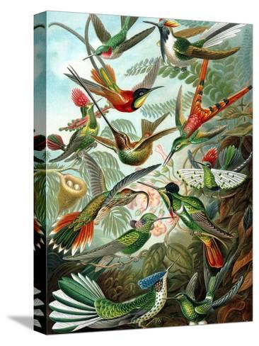 Example from the Family Trochilidae, 'Kunstformen Der Natur', 1899-Ernst Haeckel-Stretched Canvas Print