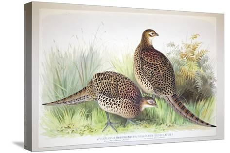 Phasianus Ussuriensis and Phasianus Delocllatus, 1906-7-Henry Jones-Stretched Canvas Print
