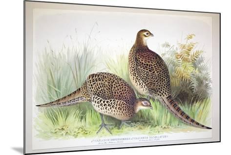 Phasianus Ussuriensis and Phasianus Delocllatus, 1906-7-Henry Jones-Mounted Giclee Print
