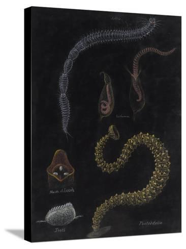 Annelid Worms-Philip Henry Gosse-Stretched Canvas Print