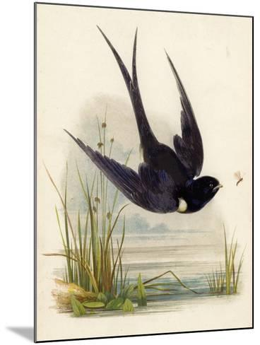 Swift--Mounted Giclee Print