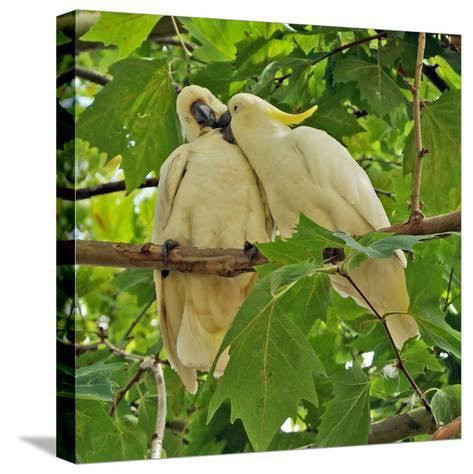 A Male Sulphur Crested Cockatoo Preening His Mate, Sydney, New South Wales--Stretched Canvas Print