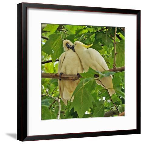 A Male Sulphur Crested Cockatoo Preening His Mate, Sydney, New South Wales--Framed Art Print