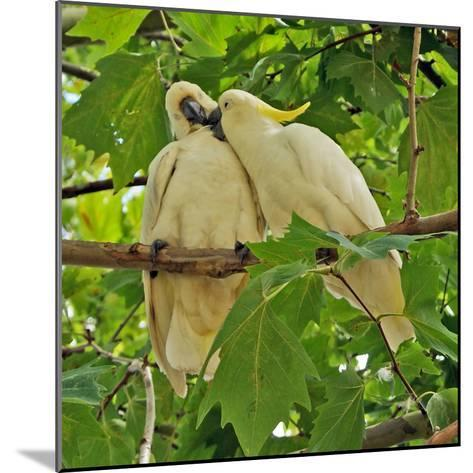 A Male Sulphur Crested Cockatoo Preening His Mate, Sydney, New South Wales--Mounted Photographic Print