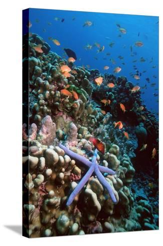 Blue Linckia Starfish-Georgette Douwma-Stretched Canvas Print