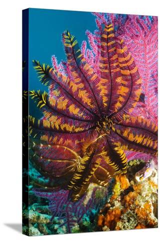 Featherstar on Gorgonian Coral-Georgette Douwma-Stretched Canvas Print