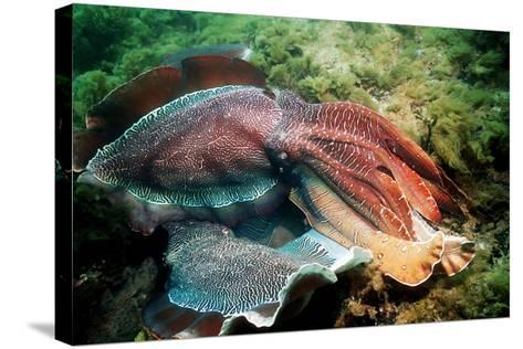 Giant Cuttlefish Males Fighting-Georgette Douwma-Stretched Canvas Print