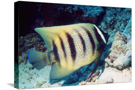 Six-banded Angelfish-Georgette Douwma-Stretched Canvas Print