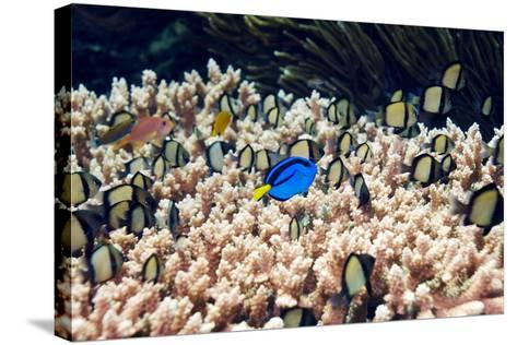 Palette Surgeonfish Over Coral-Georgette Douwma-Stretched Canvas Print