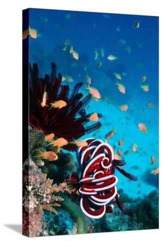 Lyretail Anthias And Featherstar-Georgette Douwma-Stretched Canvas Print