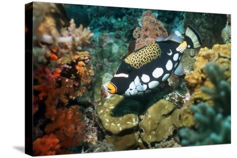 Clown Triggerfish-Georgette Douwma-Stretched Canvas Print