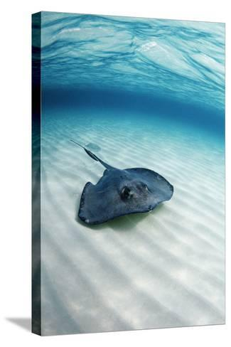 Southern Stingray-Georgette Douwma-Stretched Canvas Print