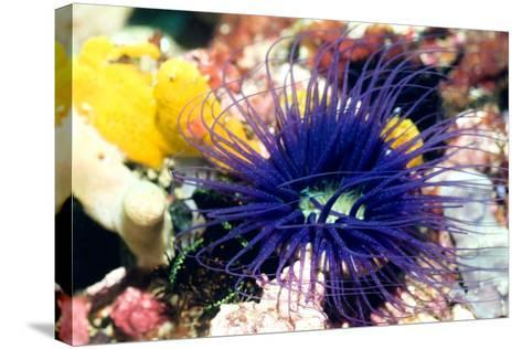 Tube Anemone-Georgette Douwma-Stretched Canvas Print