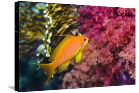 Female Lyretail Anthias-Georgette Douwma-Stretched Canvas Print