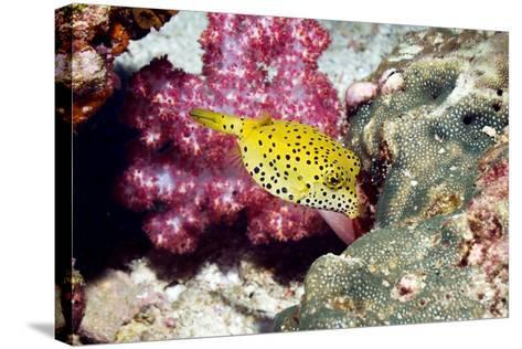 Yellow Boxfish-Georgette Douwma-Stretched Canvas Print
