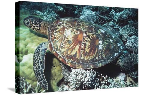 Green Sea Turtle-Georgette Douwma-Stretched Canvas Print