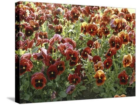 Pansies (Viola Sp,)-Vaughan Fleming-Stretched Canvas Print