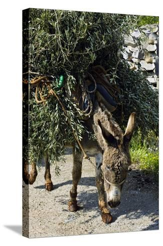 Donkey Carrying Olive Branches-Bob Gibbons-Stretched Canvas Print
