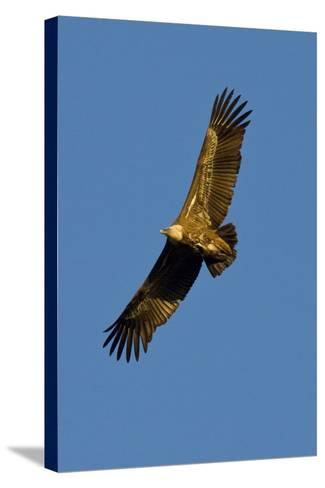 Griffon Vulture In Flight-Bob Gibbons-Stretched Canvas Print
