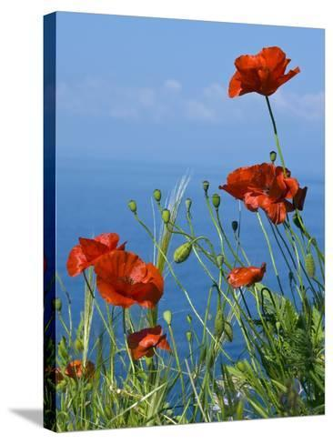 Common Poppy (Papaver Rhoeas)-Bob Gibbons-Stretched Canvas Print