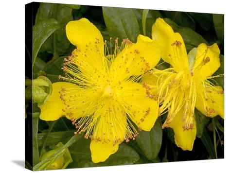 Rose-of-Sharon (Hypericum Calycinum)-Bob Gibbons-Stretched Canvas Print