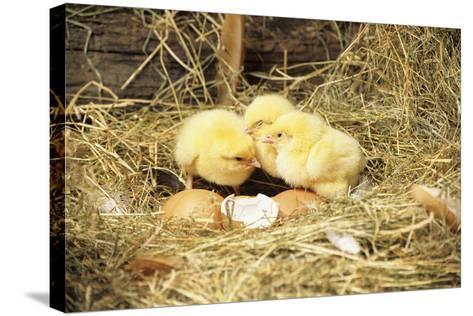 Chicks-David Aubrey-Stretched Canvas Print