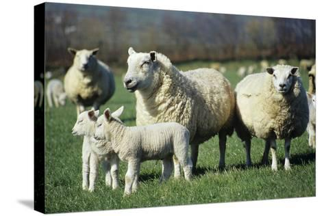 Domestic Sheep-David Aubrey-Stretched Canvas Print