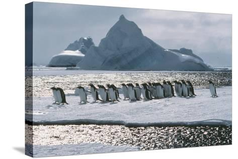Gentoo Penguins-Doug Allan-Stretched Canvas Print