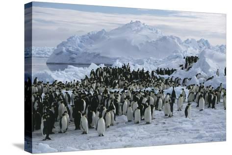 Emperor Penguins-Doug Allan-Stretched Canvas Print