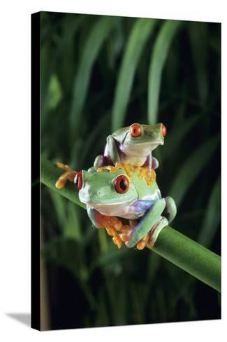 Red-eyed Tree Frogs-David Aubrey-Stretched Canvas Print