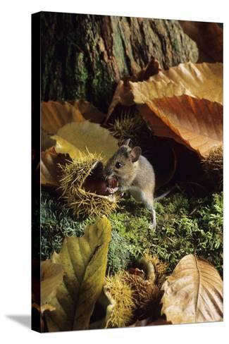 Woodmouse Eating a Chestnut-David Aubrey-Stretched Canvas Print