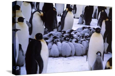 Emperor Penguin Chicks Huddling-Doug Allan-Stretched Canvas Print