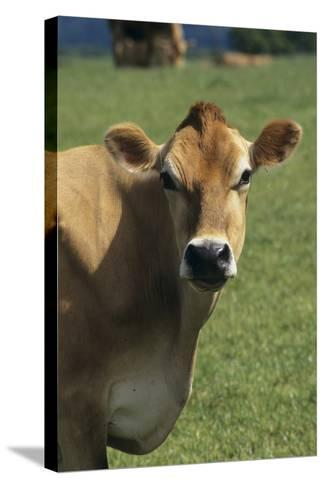 Jersey Cow-David Aubrey-Stretched Canvas Print