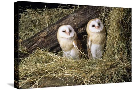 Barn Owls-David Aubrey-Stretched Canvas Print
