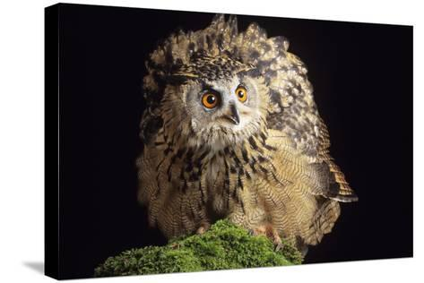 European Eagle Owl-David Aubrey-Stretched Canvas Print