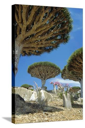 Dragon's Blood Trees-Diccon Alexander-Stretched Canvas Print